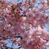 цветение-сакуры-фото